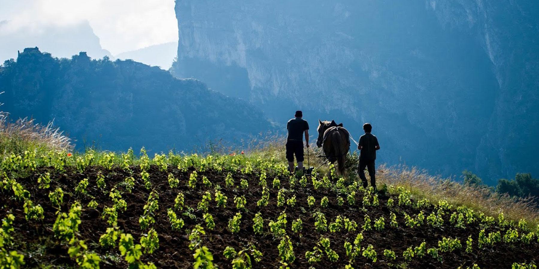 Travail de la vigne à cheval dans le Royans Isère