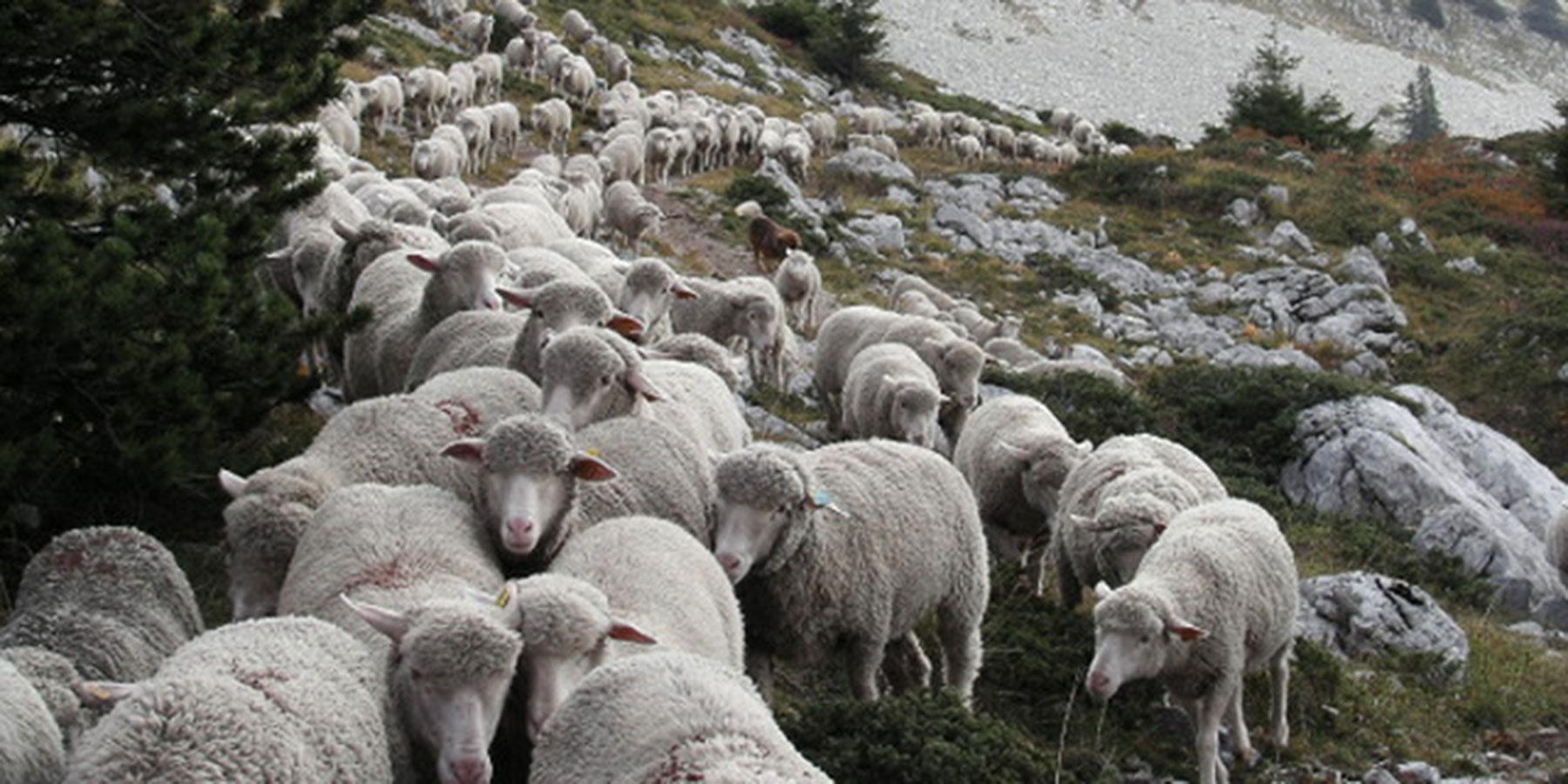 Moutons sur les pentes des 4 Montagnes